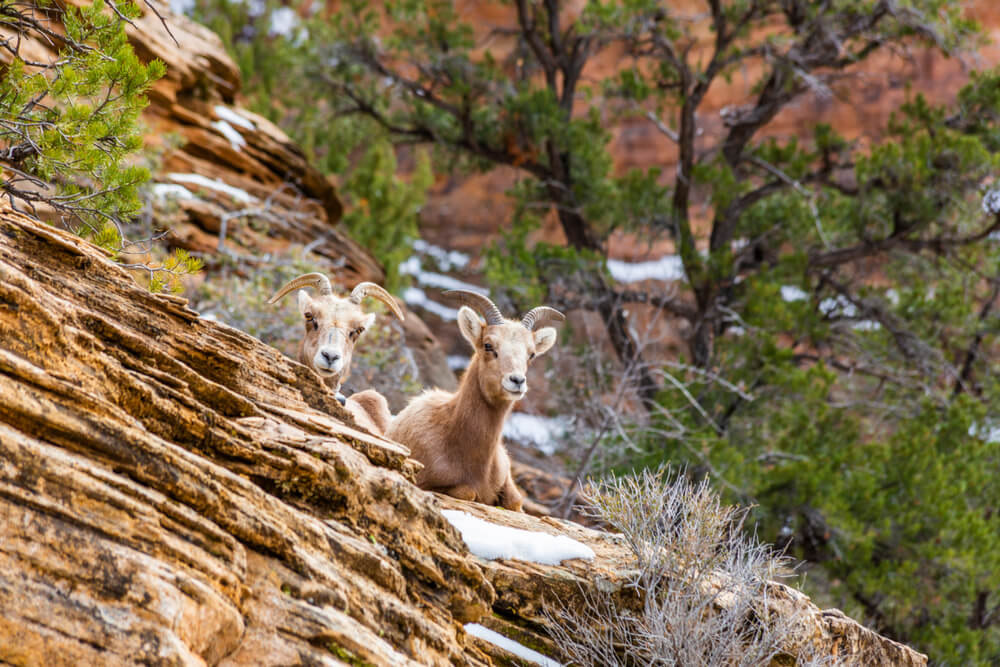 Two goats or sheep with horns looking at the camera, perched on some snow on a red rock landscape in Zion National Park in winter.