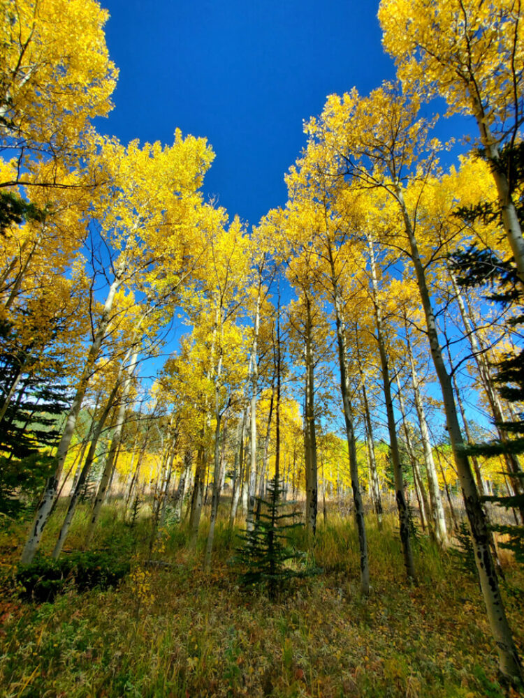 yellow aspen trees in the fall in golden colorado