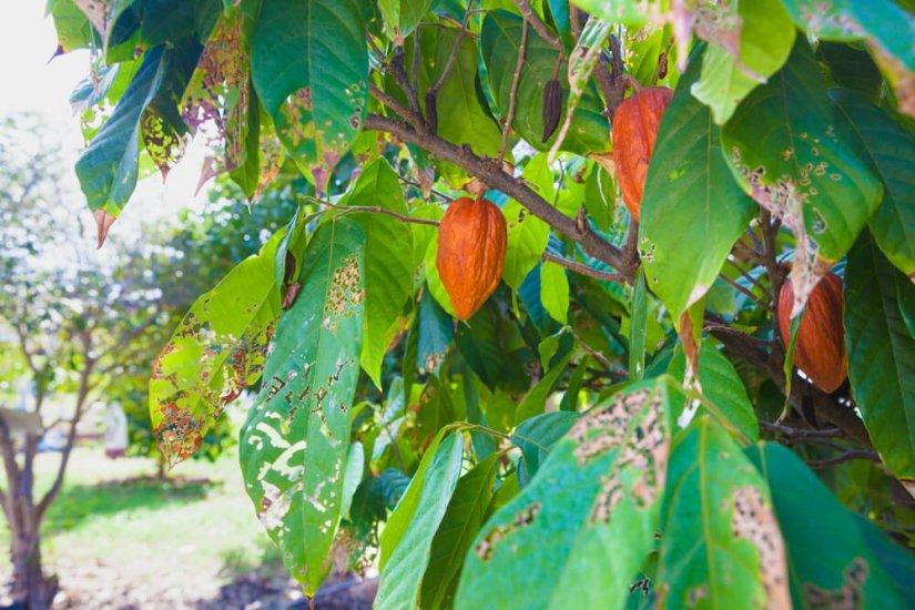 cacao beans on a farm in hawaii