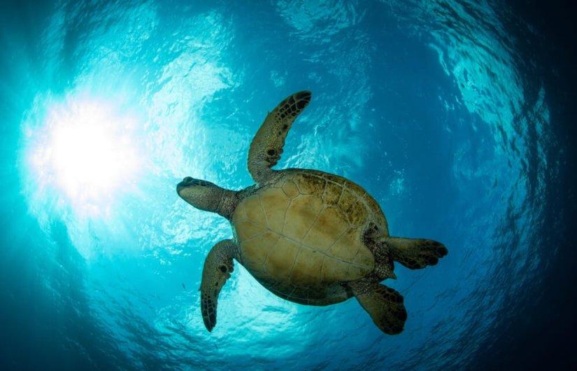 a sea turtle swimming above a diver