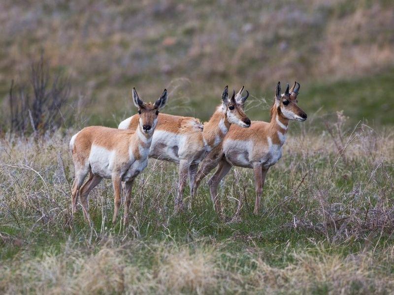 Three pronghorn aka american antelope in a field