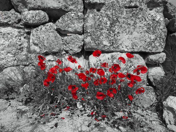 Poppies at Ancient Nemea Peloponnese Eric CB Cauchi Eternal Greece Ltd