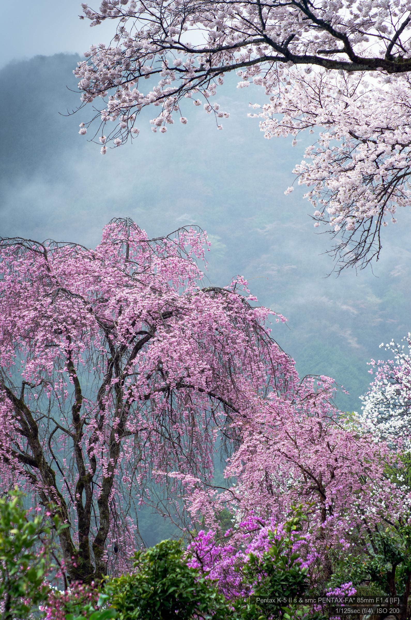 龍珠院の桜