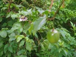 Passion fruit / fruit de la passion / maracujá