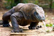 Este-dragón-podría-ser-la-clave-para-vencer-la-resistencia-a-los-antibióticos-696x464
