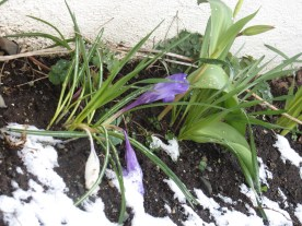 These pretty purple flowers had been popping up around our yard...they are now covered in snow.