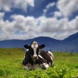 Straus Organic Dairy Tour Interview
