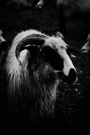 grayascale photo of goat