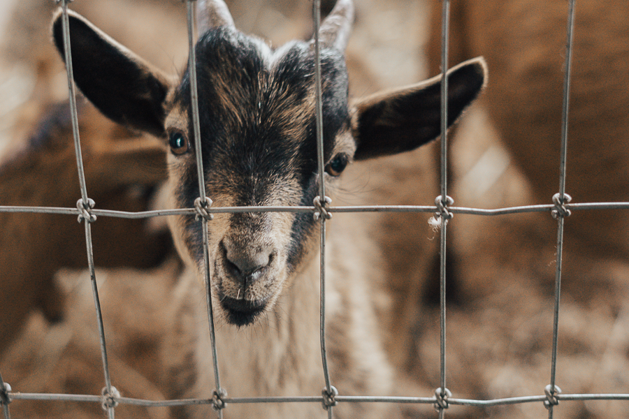 goats-taves-family-farms-abbotsford-bc