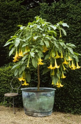 Brugmansia aurea. Tender shrub with yellow flowers in verdigris container
