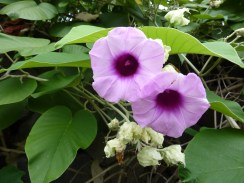 Hawaiian baby woodrose flowers 8