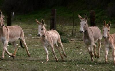 The donkeys of Santorini and the welfare of the animals