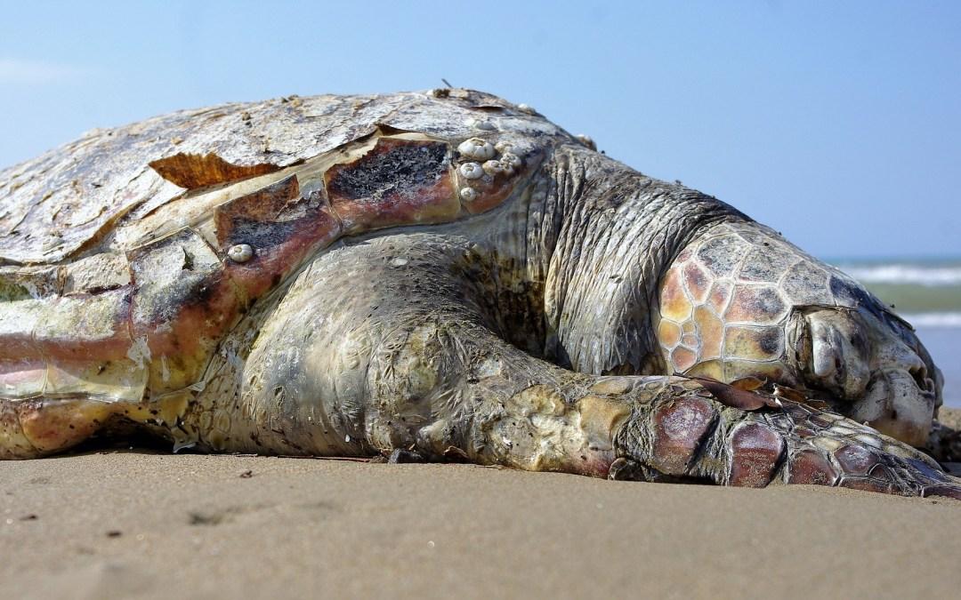96 θαλάσσιες χελώνες εκβράζονται στις ακτές του Ισραήλ, περίοδο που λαμβάνουν χώρα σεισμικές δονήσεις για εξεύρεση αερίου