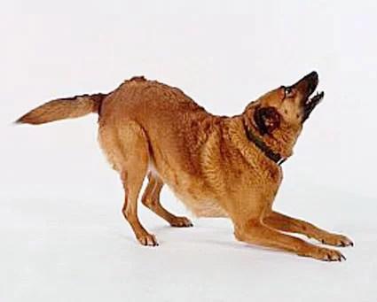 convite a brincadeira comunicacao em caes canina