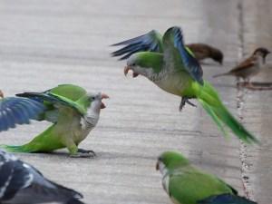 agressividade em aves