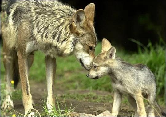 filhote-de-lobo-cinzento-diferencas-de-comportamento-entre-cães-cachorros-ethos-psicologia-animal-adestramento-comportamental