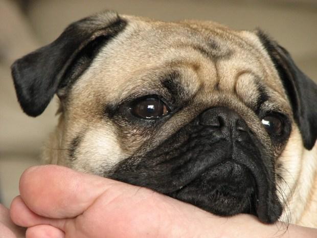 pug ethos aninmal comportamento animal aplicado adestramento de cães psicologia canina