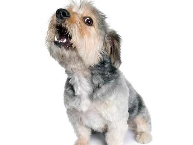 latidos em cães adestramento terapia comportamental ethos animal