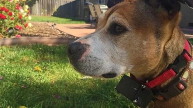 Escócia proíbe uso de colar de choque colar eletrônico e-collar em cães 01