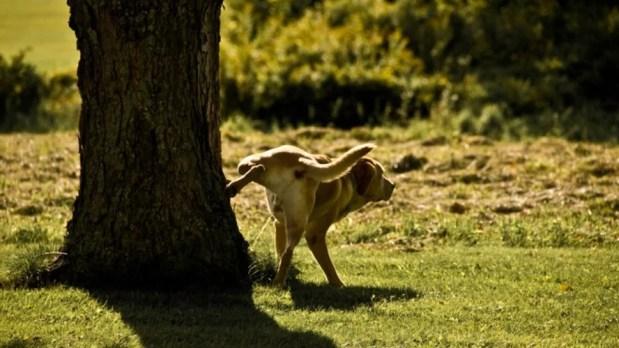 caes-pequenos-fazem-xixi-mais-alto-para-mentir-sobre-seu-tamanho-diz-estudo-comportamento-animal-ethos