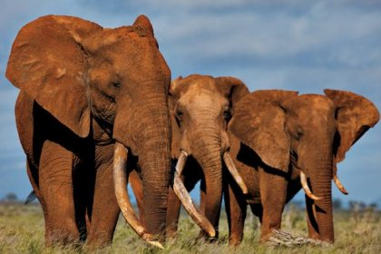 After CITES fails African Elephants are two shipments of blood ivory seized in Vietnam