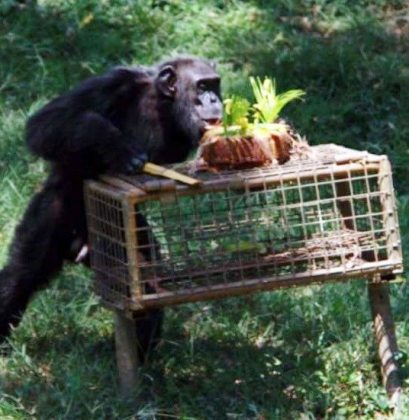 Uganda's and perhaps the world's oldest chimp turns 53