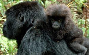 Rwanda's expensive gorilla permits keeping some tourists away