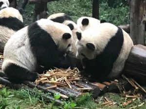 Giant Panda Bears are hungry like babies: Caught on video in Chengdu, China