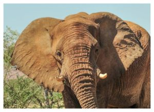 Kambonde - African elephant killed
