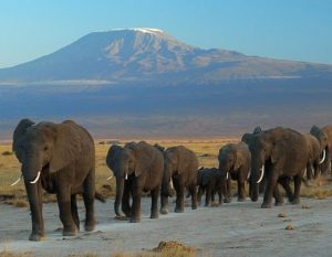 Not a single elephant harvested in Tanzania in 2017