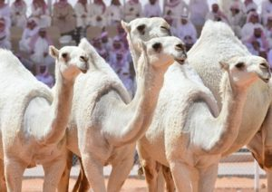 Saudi Arabian Tourism: The King Abdulaziz Camels Festival 2018