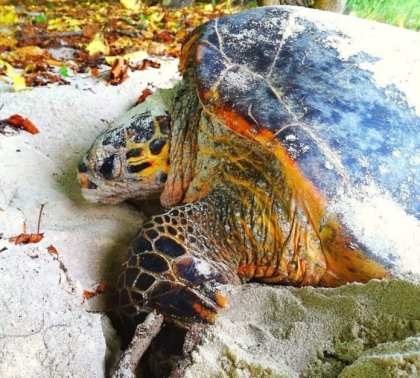 Cousine Island: The first of many nesting hawksbill turtles arrive