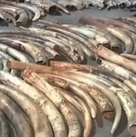 World's worst elephant poaching countries are let off the hook