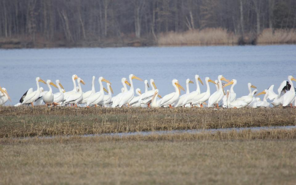 Pelicans walking