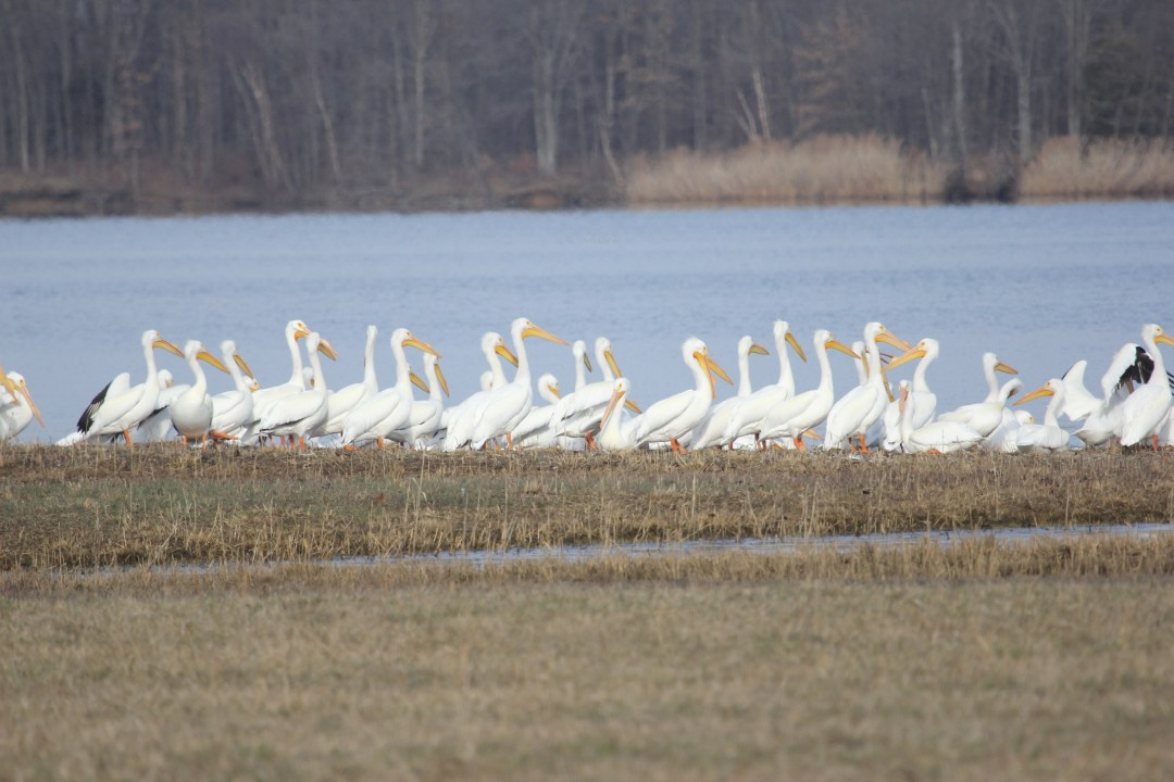 Pelicans walking