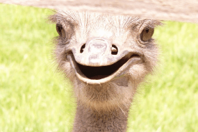 ескурсія на страусину ферму