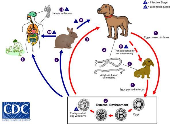 Ciclo biológico de Toxocara