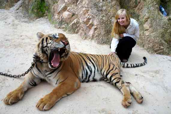 Posing with open-mouthed tiger
