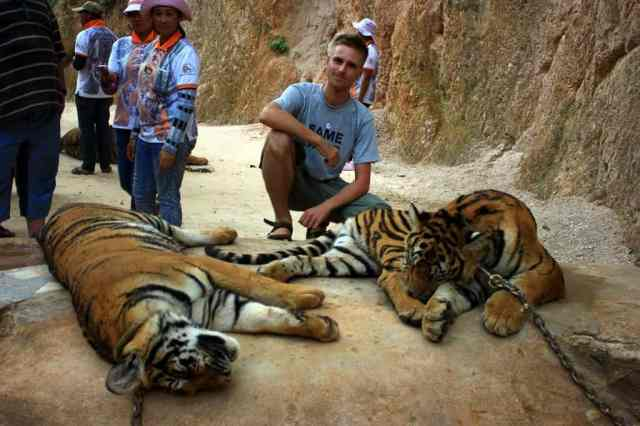 Tigers playing, Tiger Temple
