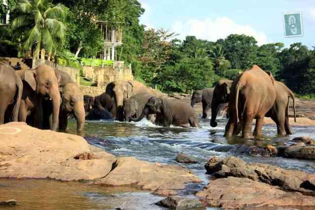 Elephants taking a bath in Pinnawala
