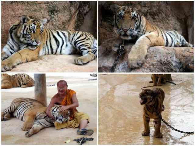 Tigers, Tiger Temple