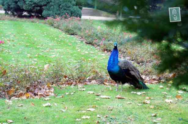 Peacocks, one of a number of animal species in the Royal Baths Park
