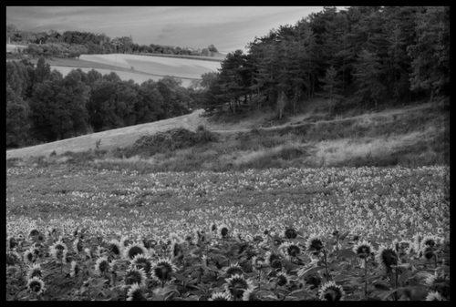 All sizes Sunflower Sunrise Flickr Photo Sharing