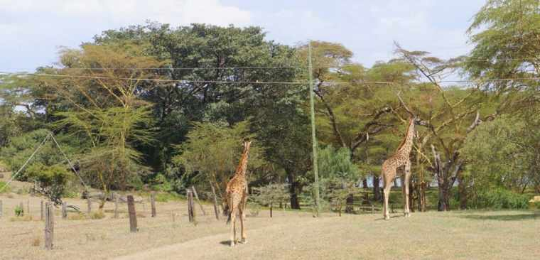 Giraffes at Lake Naivasha