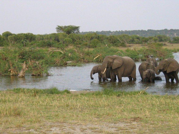 Elephants in Uganda