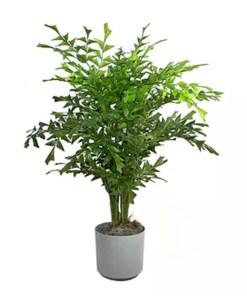 Fishtail Palm | Caryota Palms | فش ٹیل پام