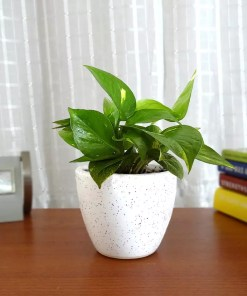 This ia a picture of money plant which is also known as Golden Pothos placed on a table to give an idea when you buy money plant online from etree.pk