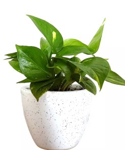 This ia a picture of money plant which is also known as Golden Pothos.