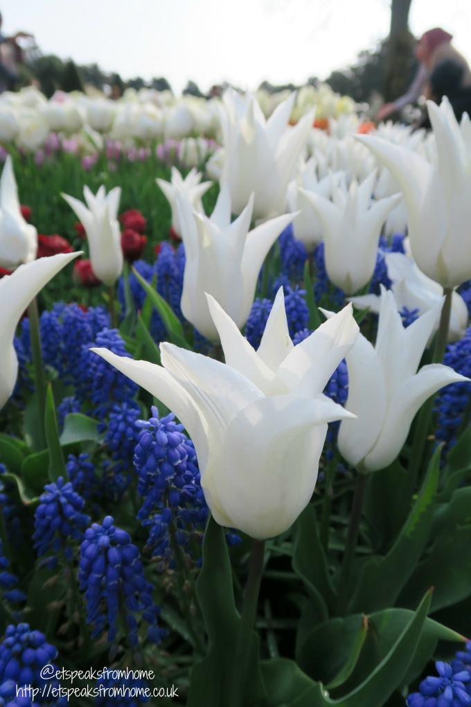 Keukenhof - Tulips in Holland white