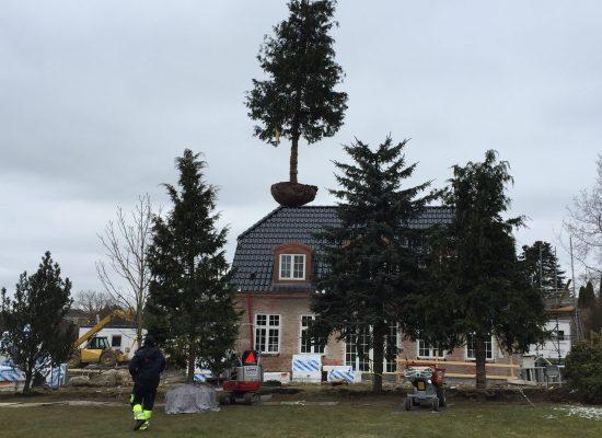 Beplantning af store træer i nordsjælland
